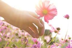Main de femme saisissant la fleur rose de cosmos effet de vintage avec le doux Photographie stock