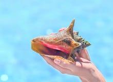 Main de femme tenant la grande belle coquille de mer de rapana Images stock