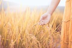 Main de femme tenant le jeune riz avec la tendresse images stock