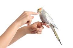 Main de femme tenant un oiseau de cockatiel grignotant son doigt Photographie stock libre de droits