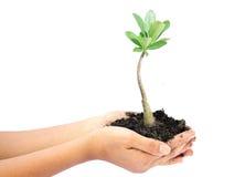 Main de femme tenant une petite usine verte d'arbre Images stock