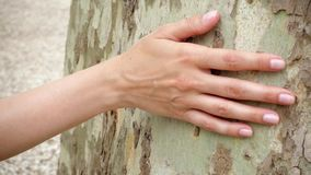 Main de glissière de femme le long de vieux sycomore dans le mouvement lent Surface femelle de contact de main de tronc d'arbre p banque de vidéos