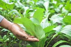 Main de jardinier tenant le cantonese frais de laitue dans la ferme image libre de droits