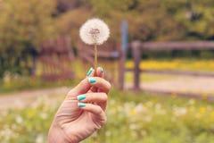 Main de jeune femme avec le pissenlit sur un fond de nature au printemps Fond clair et mignon photos libres de droits