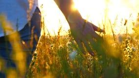 Main de jeune femme passant par un champ sauvage de pré Main femelle touchant les fleurs sauvages en gros plan banque de vidéos
