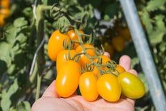 Main de la tomate-cerise jaune choisie d'agriculteur s'élevant dans la ferme d'agriculture d'usine de champ Image libre de droits