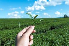 Main de plan rapproché pour moissonner la feuille de thé Image libre de droits
