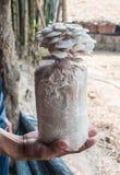 Main de sac de prise des champignons d'huître cultivés à la ferme. Image stock