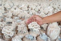 Main de sac de prise des champignons d'huître cultivés à la ferme. Images libres de droits