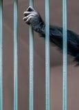 Main de singe Image libre de droits
