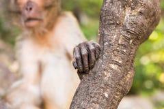 Main de singe Photos libres de droits
