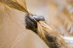 Main de singe tirant le cheveu d'une fille blonde Photos libres de droits