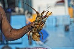 Main de vieil homme sur un bateau de pêche tenant un homard Photographie stock