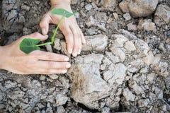 Main de vue supérieure plantant la plante verte sur la terre sèche images libres de droits