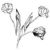 Main dessinant les fleurs noires et blanches de tulipes Image libre de droits