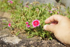 Main droite atteignant une fleur Image stock