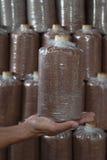 Main du sac de prise des champignons cultivés à la ferme. Photo libre de droits