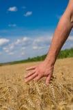 Main et blé Photographie stock