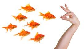 Main faisant des gestes vers un groupe de goldfish Photographie stock libre de droits