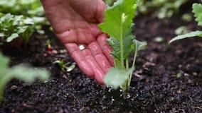 Main femelle arrosant une jeune jeune plante verte de chou-rave banque de vidéos