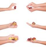 Main femelle avec des chesnuts, d'isolement Image libre de droits