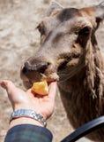 Main femelle avec les cerfs communs de alimentation de pomme Photos libres de droits