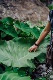 Main femelle frottant la feuille énorme émouvante de lotus photos stock