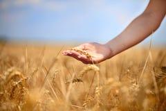 Main femelle frottant les cheminées du blé Photographie stock