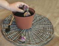 Main femelle plantant des ampoules de jacinthe dans un pot en plastique Images stock