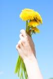 Main femelle tenant des fleurs de pissenlit Images stock