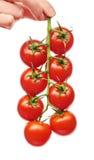 Main femelle tenant la branche des tomates-cerises rouges fraîches Photo stock