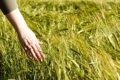 Main femelle tenant les oreilles vertes du blé dans un domaine de blé Photographie stock libre de droits