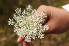 Main femelle tenant une fleur blanche de dentelle du ` s de la Reine Anne image libre de droits
