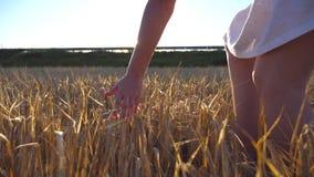 Main femelle touchant un blé d'or dans le domaine Bras de fille frottant le seigle au pré Fusée de Sun au fond lent banque de vidéos