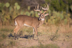 Main frame typical whitetail Royalty Free Stock Photography