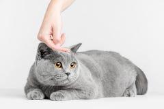 Main humaine choyant la tête du ` s de chat Shorthair britannique Photo libre de droits