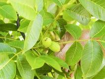 Main humaine tenant les noisettes vertes sur l'arbre Écrous de l'élevage d'aveline Photographie stock libre de droits