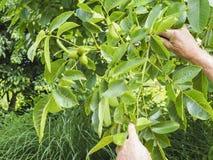 Main humaine tenant les noisettes vertes sur l'arbre Écrous de l'élevage d'aveline Image stock