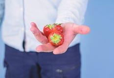 Main masculine avec le fond de bleu de fraises Aide vous-même La main propose la fraise de prise Récolte fraîche du rouge mûr photographie stock libre de droits