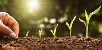main plantant la graine de ma?s de la moelle /courgette dans le potager avec le soleil image libre de droits