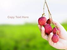 Main prenant le fruit mûr de litchi photo stock