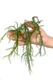 Main retenant l'algue verte fraîche images stock
