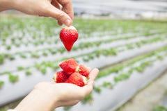 Main retenant la fraise Photos libres de droits