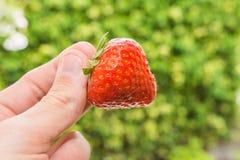 Main retenant la fraise Photographie stock