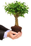 Main retenant un Ficus Benjamin de centrale Photos stock