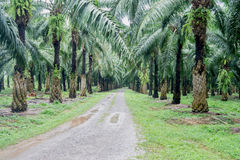 Main road in the oil palm plantation. Af ter raining Stock Image