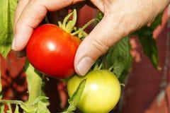 Main sélectionnant la tomate rouge près du vert un Photographie stock