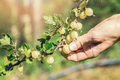 main sélectionnant les baies mûres du buisson de groseille à maquereau photos libres de droits
