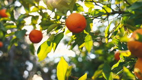 Main sélectionnant une orange d'un arbre banque de vidéos