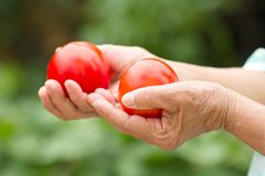 Main supérieure de femme tenant les tomates organiques fraîches de la ferme biologique photographie stock libre de droits